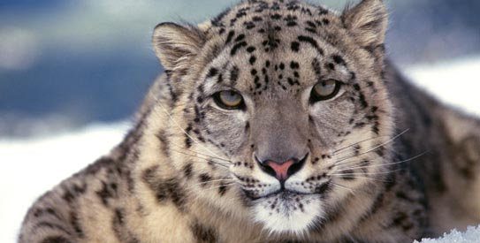 Nepal's beautiful snow leopards endangered